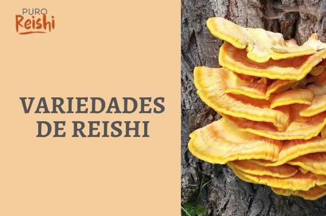 Sumo reishi banzai, reishi japonés, rokkaku reishi… ¿conoces estas variedades?